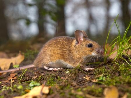 necked: gele hals muis op de bosbodem