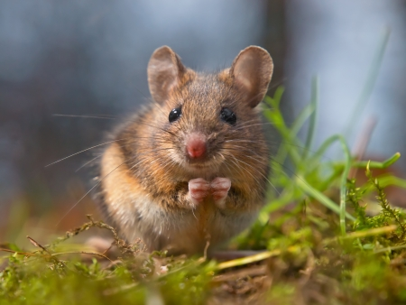 後脚の上に座ってかわいい木製マウス 写真素材