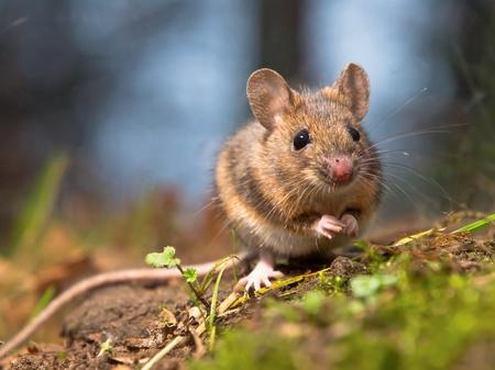rata: El ratón de campo salvaje sentado en el suelo del bosque