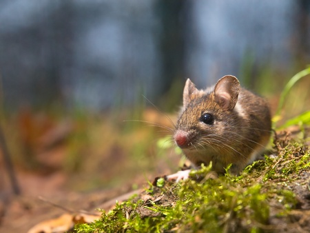 Wild wood mouse sitting on the forest floor with lots of copy space