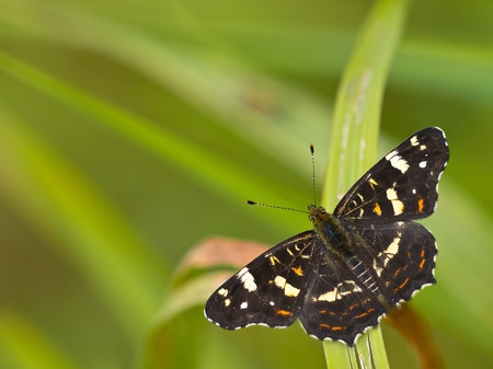 Beautiful map butterfly is resting on grass with copyspace photo