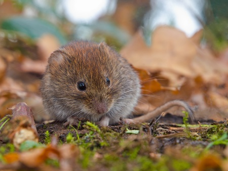 Bank vole (Clethrionomys glareolus) hiding between the leaves photo