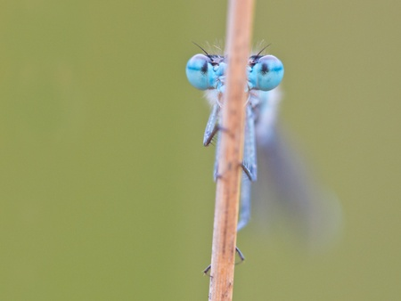 frontal view of resting dragonfly photo