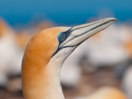 australasian: Close up of an australasian gannet in a breeding colony