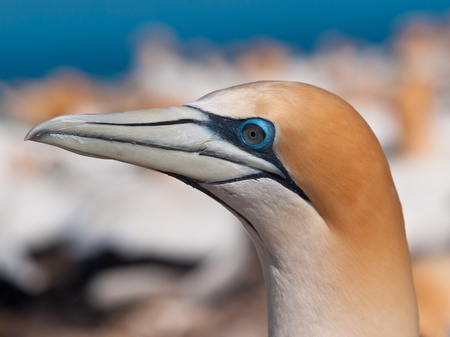 overpopulated: Close up Gannet head in a breeding colony in new zealand