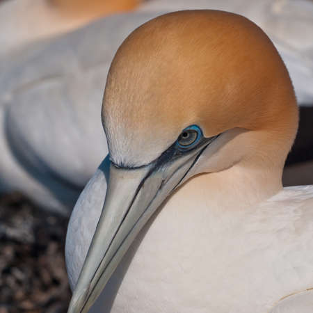 overpopulated: Head of a breeding gannet