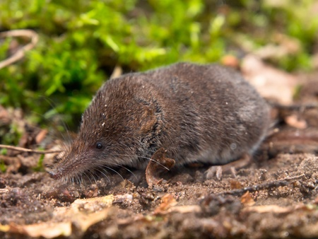 The Eurasian Pygmy Shrew is one of the smallest mammals in the world