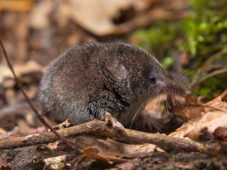 Eurasian pygmy shrew on forest floor