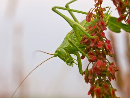 Great Green Bush-Cricket (Tettigonia viridissima) against white photo