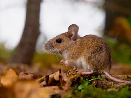 necked: gele necked muis van opzij gezien