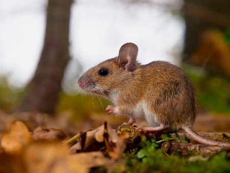 yellow necked mouse seen from side photo