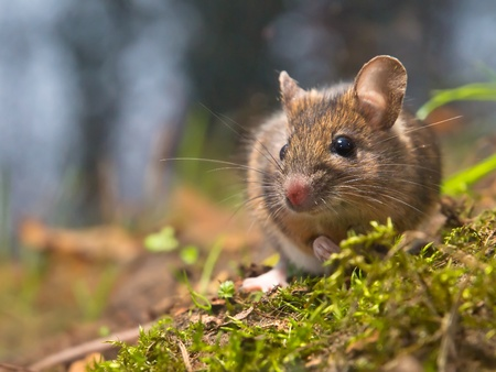Wild wood mouse in natural habitat photo
