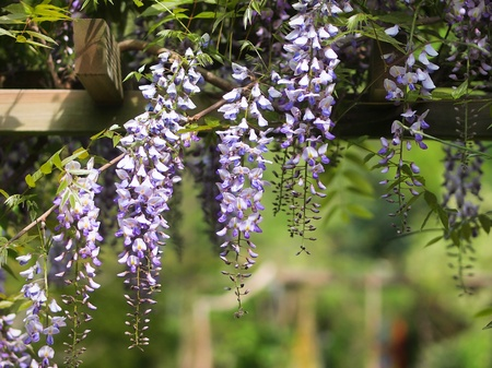 Fabaceae: Wisteria on an arbour in a sunny garden Stock Photo
