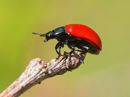 tip of the leaf: Red leaf beetle on the tip of a stick