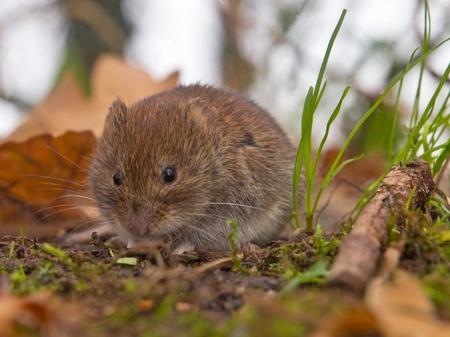 vole: Bank vole (Clethrionomys glareolus) is op zoek naar voedsel op de bosbodem