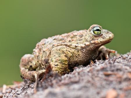 bufo bufo: Natterjack toad (Epidalea calamita) sideview with green background Stock Photo