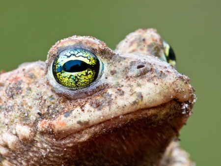 Natterjack Toad potrait 版權商用圖片