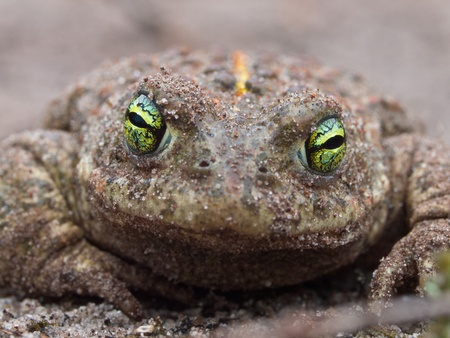 amphibia: Natterjack Toad (Epidalea calamita) frontal view Stock Photo