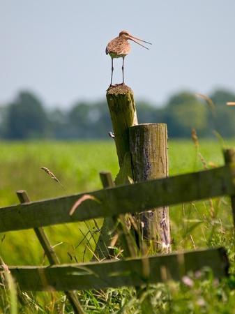 alarming: Alarmante Negro aguja colinegra estar en la pole