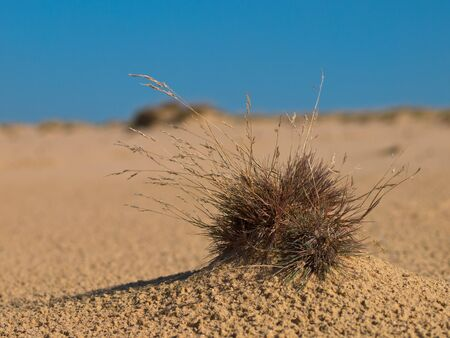 shifting: Grass plant in shifting sand environment Stock Photo