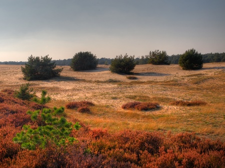 veluwe: Five bushes in formation in a dutch National park