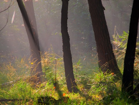 posbank: Stems of trees in early morning hazy light Stock Photo