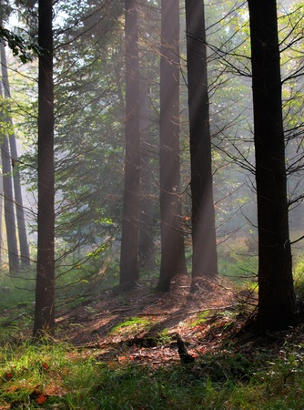 Sunrays are shining through morning haze in a mixed forest habitat