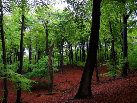 forest management: Fresh green beech forest in may