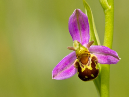 rare animals: Close up of bee orchid (Ophrys apifera) flower Stock Photo