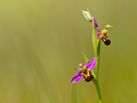 Bee orchid (Ophrys apifera) against green background photo