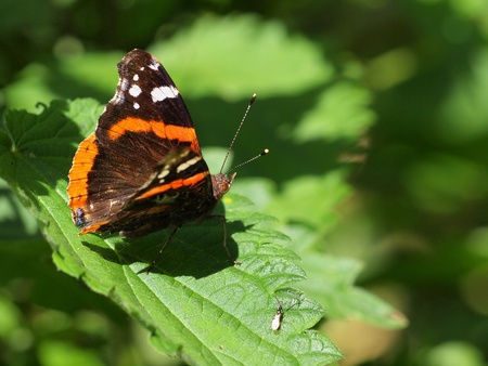 admiral: Admiral butterfly resting on nettle its host plant Stock Photo