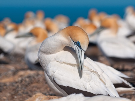 australasian: Australasian gannet in a colony is taking care of feathers