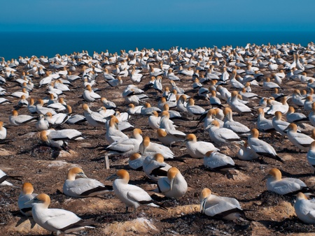 australasian: Gannet colony at cape kidnappers New Zealand
