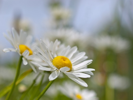 Prado con flores margarita (Leucanthemum vulgare) photo