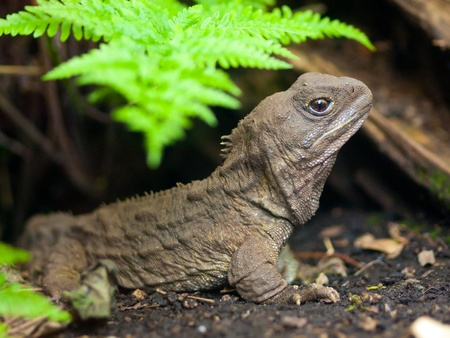 Tuatara, also called living fossil, is a native reptile in new zealand 版權商用圖片