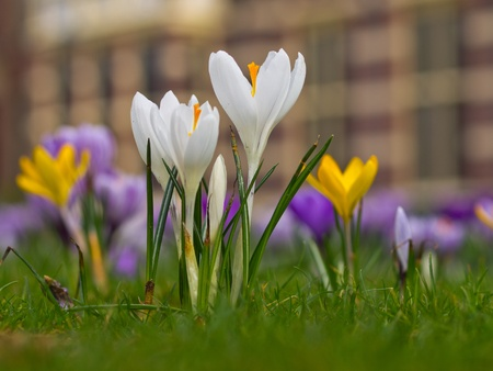 lila: White crocus are blooming in spring in a field