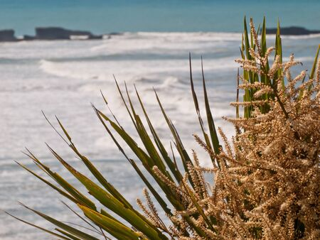 cordyline: Blooming Cabbage tree  Cordyline australis  with surf in backdrop