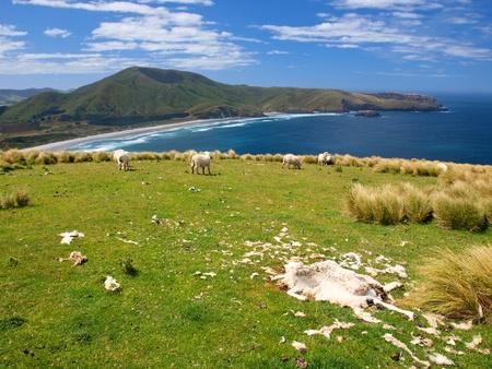 new zealand flax: Dead sheep in coastal rural landscape