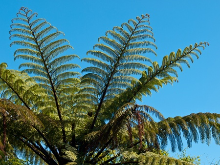 silver fern: Detail of a tree fern, one of the symbols of new zealand
