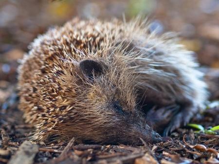 Young juvenile hedgehog (Erinaceus europaeus) is sleeping photo