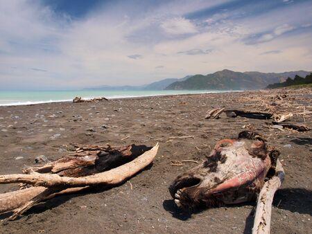 carcass: mummified cow head at a beatiful black sand beach in New Zealand Stock Photo