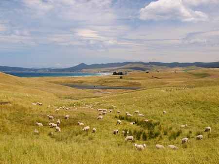 Sheep farm in hilly rural landscape along the coast Stock Photo - 12901239