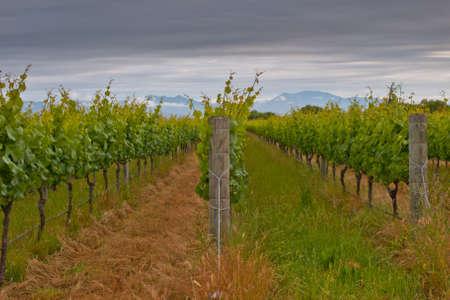 Rows in a Marlborough region vineyard Stock Photo - 12901764