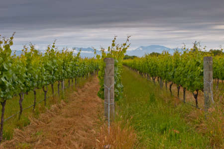 marlborough: Rows in a Marlborough region vineyard Stock Photo