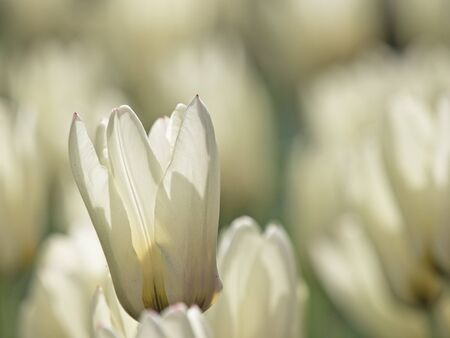 sun lit: A back lit white tulip in a flower bed in spring