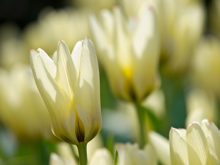tulipa: Back lit white tulips in the Keukenhof, Netherlands