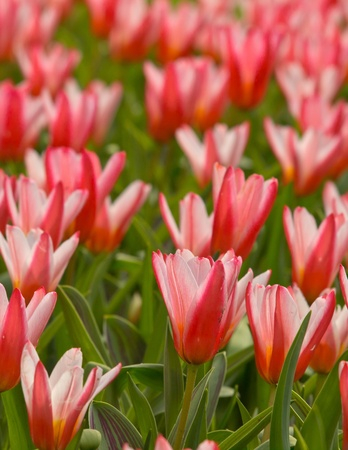 tulipa: A flower bed of blooming tulips in the Keukenhof, Netherlands