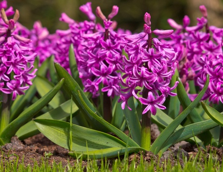 Blooming purple Hyacinth in a garden setting photo