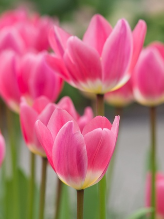 Vibrant pink tulips in bloom in the Keukenhof, the Netherlands photo