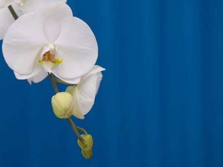 White blooming orchid against blue background photo